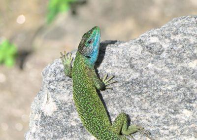 Emerald Gekho